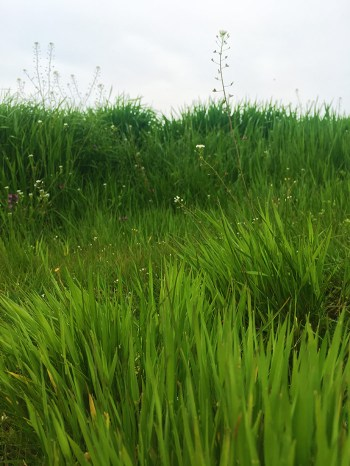 Green fields around Zhitari