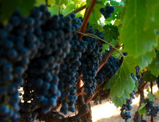 Wine grapes in one of the wineries in Napa Valley