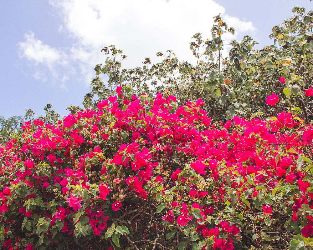 Bougainvillea Hawaii