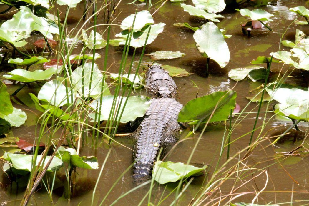 Everglades Krokodil