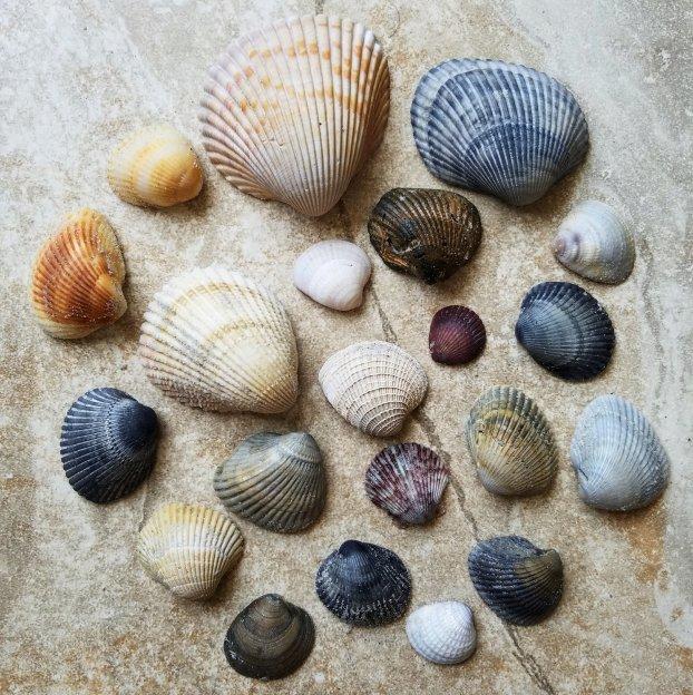 Beautiful Assortment of Shells from North Carolina