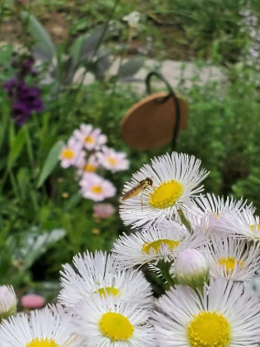 wild daisy fleabane tiny bee