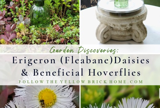 Edible Fleabane Daisies and Beneficial Hoverflies