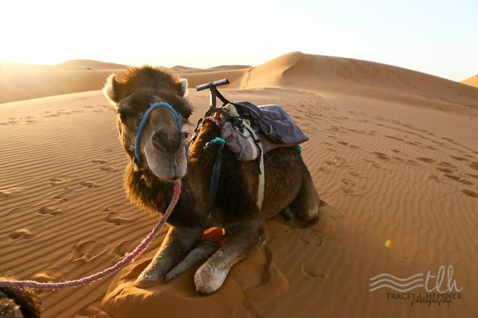 201505_Morocco_camel-0854