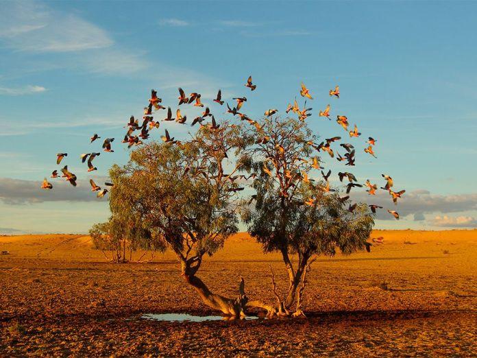 galah-birds-australia_84055_990x742