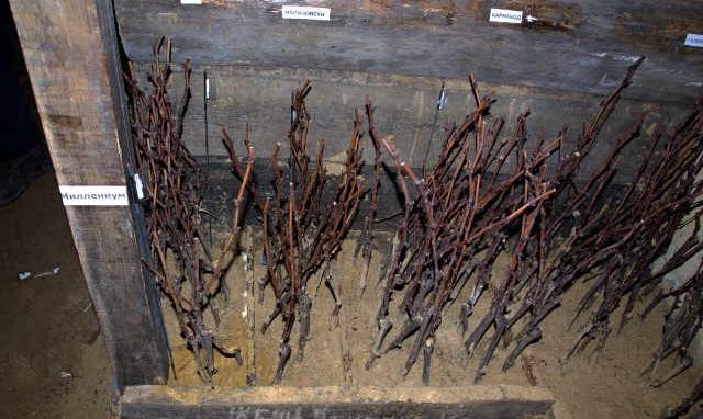 Как хранить чубуки винограда зимой в холодильнике