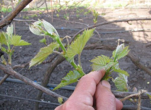 Обломка, прищипывание, чеканка и пасынкование винограда летом. Правила удаления пасынков у винограда Пасынкование винограда в июне