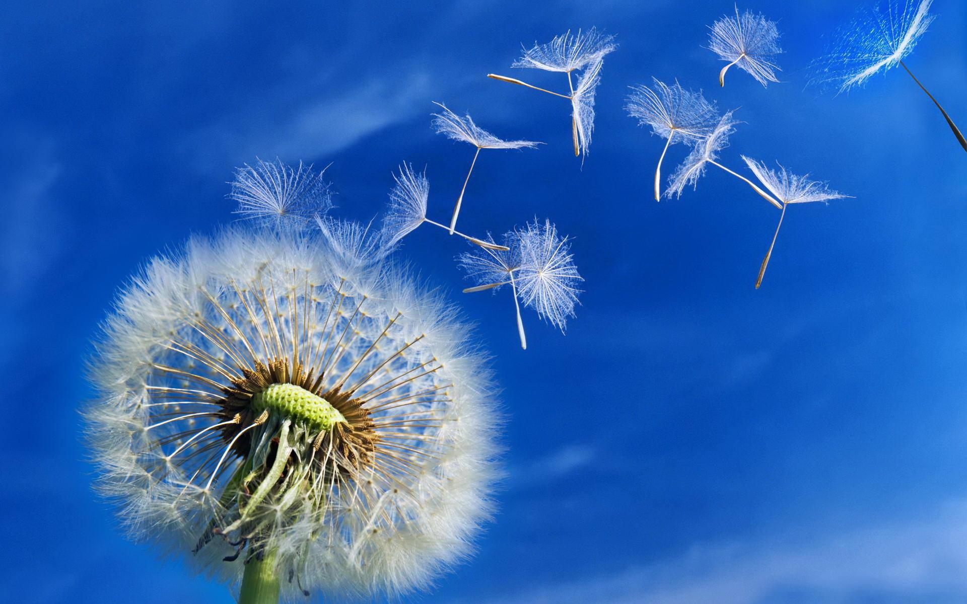 Картинка разлетающийся одуванчик на фоне голубого неба ...