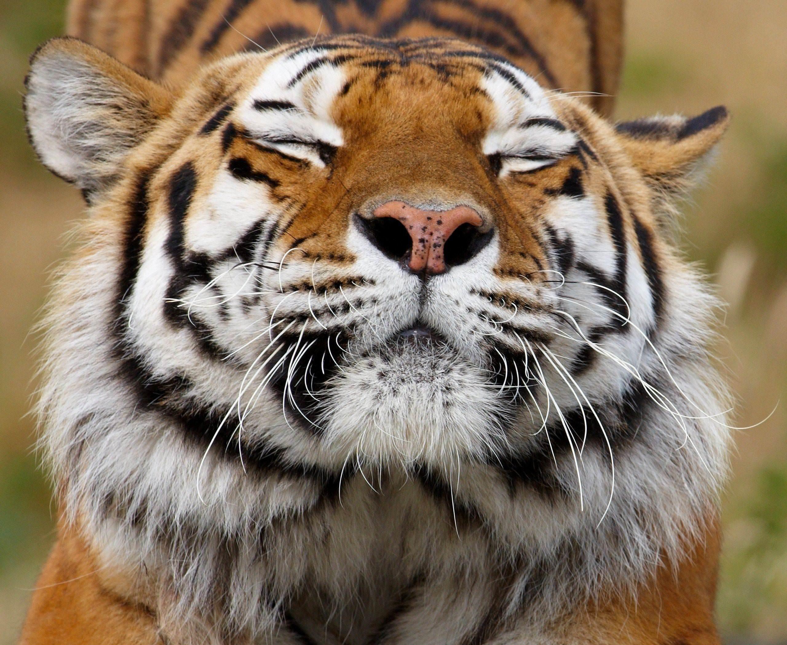 Обои красивая морда тигра на рабочий стол