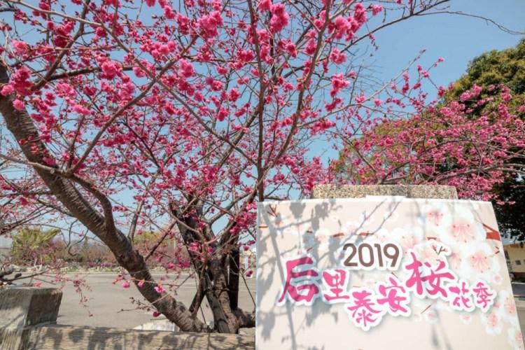 台中后里景點「2019泰安櫻花季」被超美櫻花包圍的派出所!