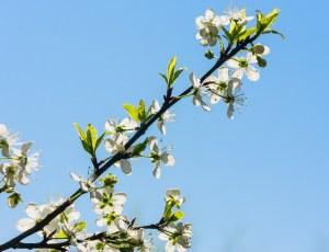 Flowering plum branch against the blue sky