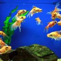 Do  you know where to place the aquarium and to select fish according to your sun sign ...