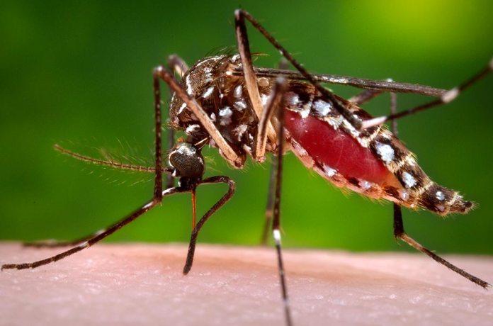 Mosquito Aedes aegypti tem relação com a doença