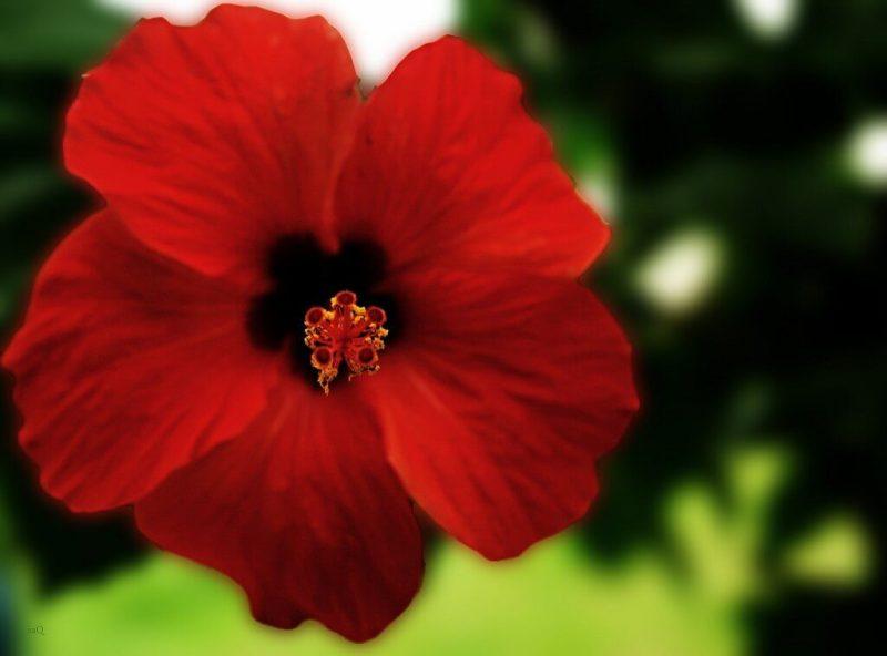 HIBISCO 4 1024x758 - Chá de Hibisco: Poderoso aliado da saúde e boa forma!