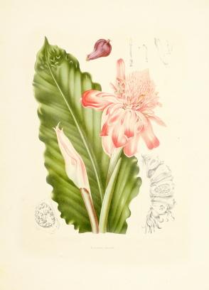Caramom:Ginger Flower