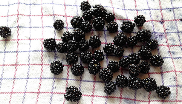Blackberries rinsed and ready to be frozen