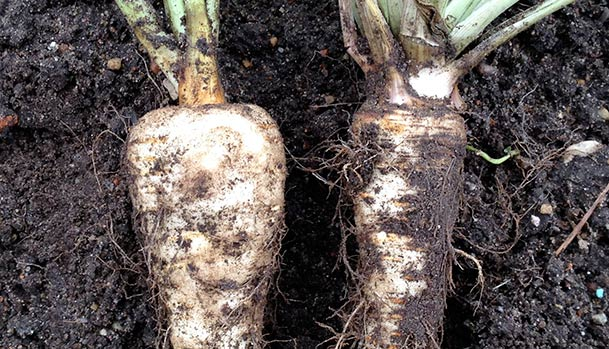 Parsnip and parsley root
