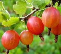Крыжовник – чудо-ягода