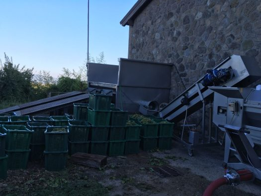 Boxes of grapes, ready to be processed