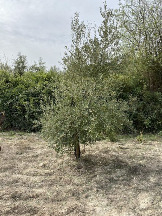 My adopted olive tree
