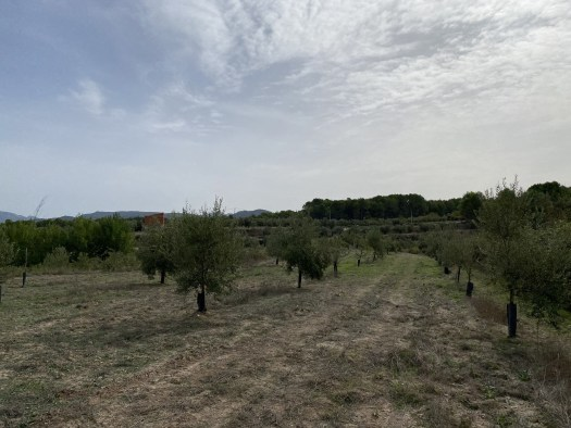 More olive trees on a field, on an slightly cloudy day