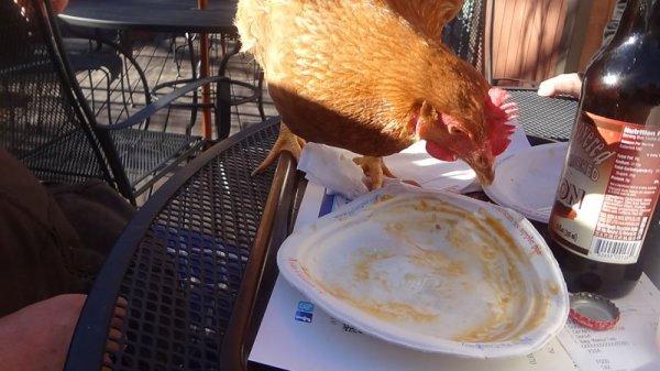 chicken-eating-pie