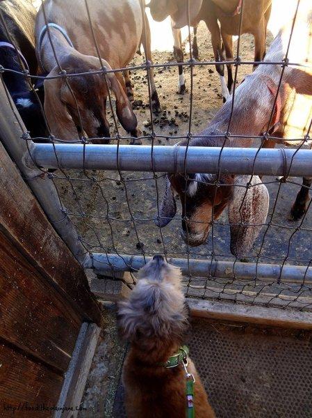 maya-and-goats