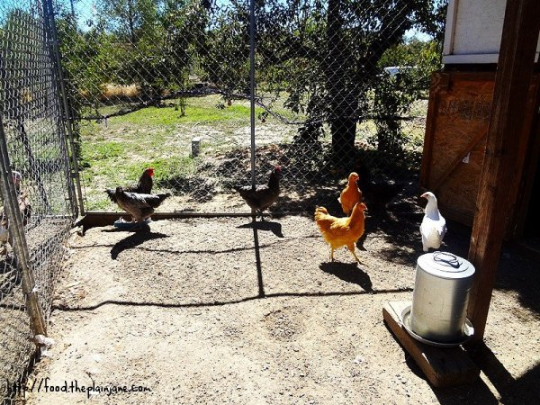orchard-chickens