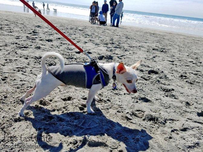 short-round-ready-dog-beach