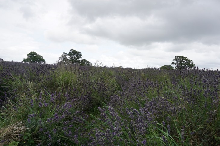 field of lavender growing at farm Faukland Somerset