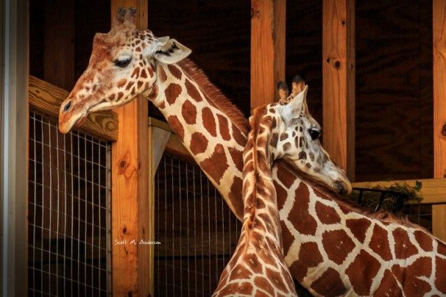 Watch live: Update April the giraffe showing continued movement of baby inside, and big baby kicks