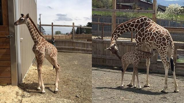 April's baby, Taj takes first trips outside stalls