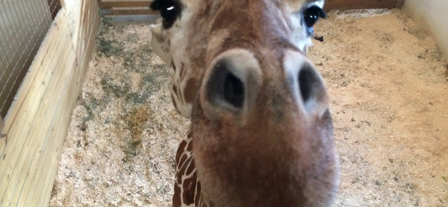 Animal Adventure Park Giraffe Cam-UPDATE ON 'APRIL' THE GIRAFFE- She is getting close to delivery!