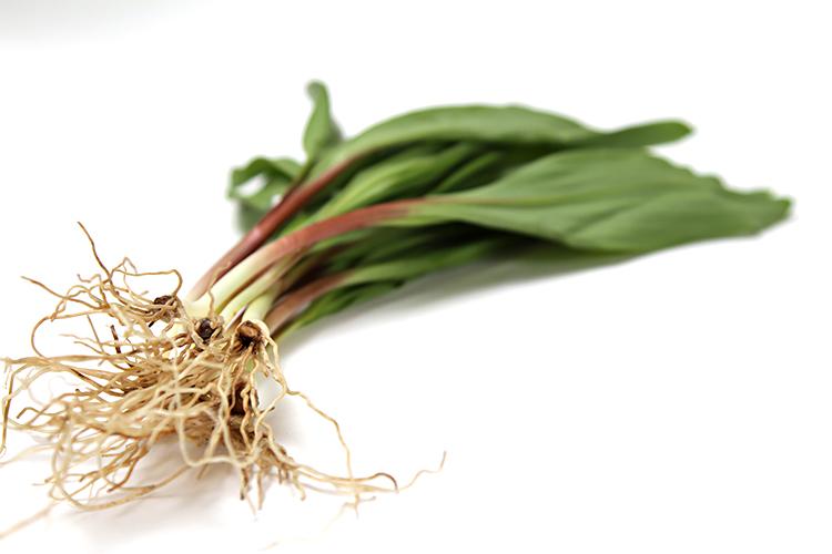 Ramps | Wild leeks | Wild garlic | Allium tricoccum