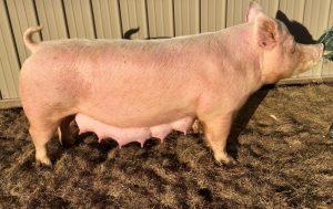 Pigs Sandra