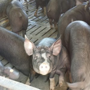 In a different barn you'll find Berkshire pigs too!