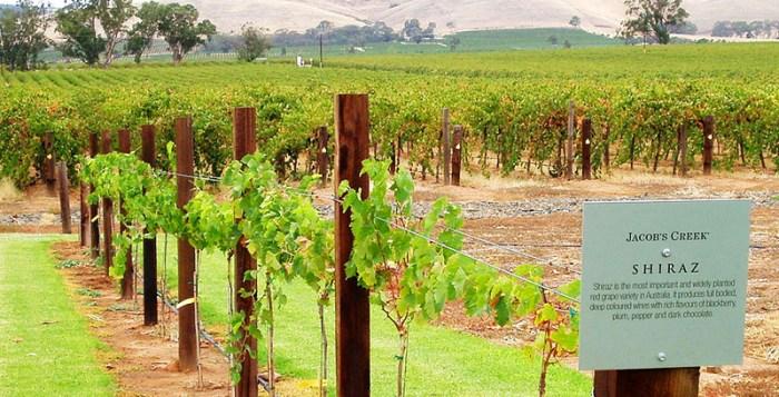 Jacob's Creek Shiraz vineyard