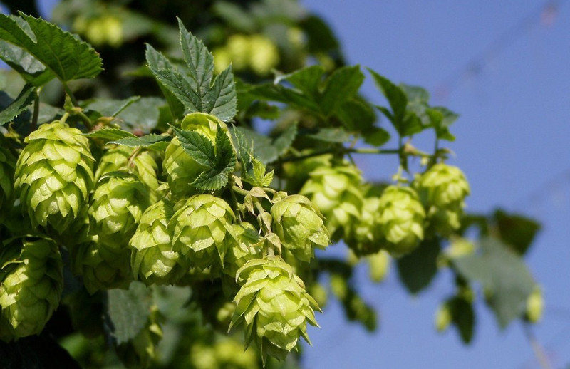 Centennial Hops (Photo By: )