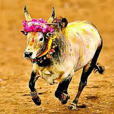 Why Tamils fight for Jallikattu