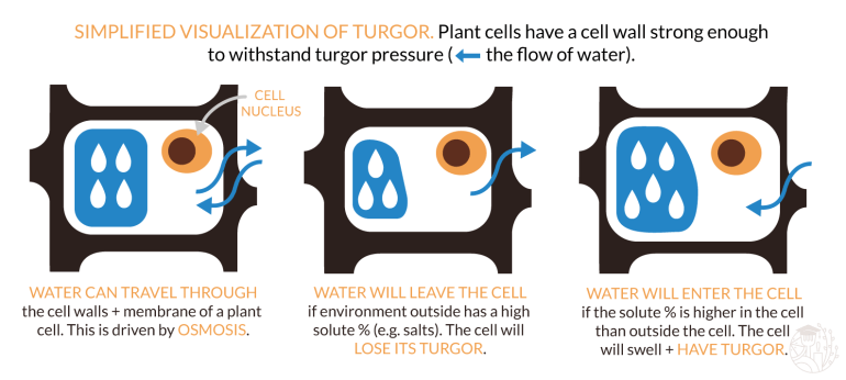 illustration describing turgor in a cell