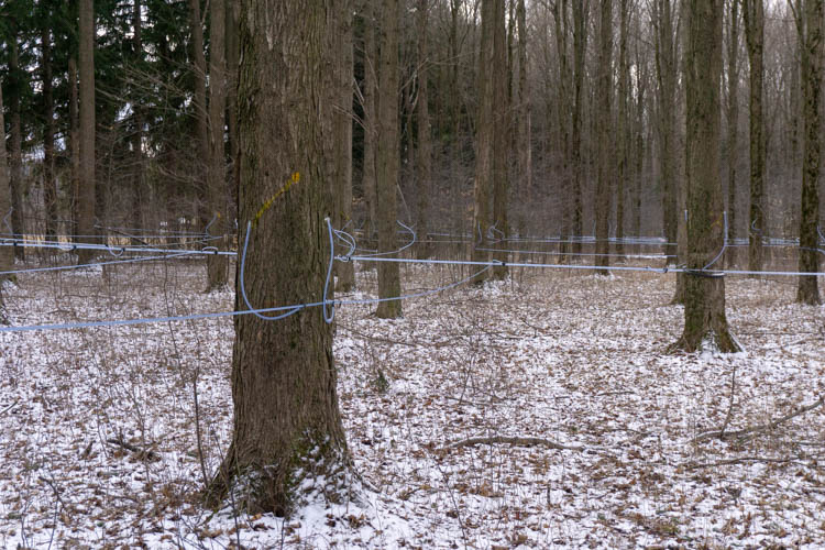 plastic tubing in maple tree forest