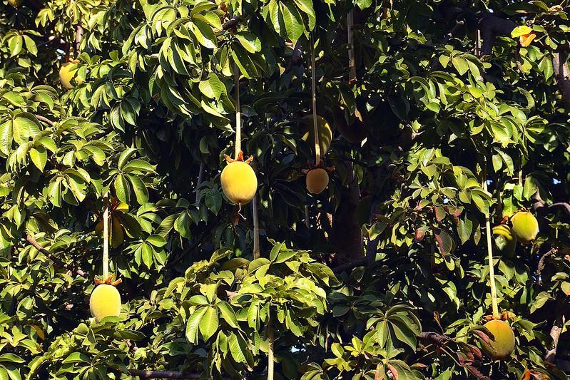 Baobab Fruit - African Fruits