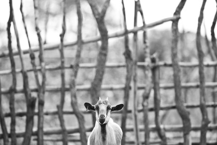 Goats held in a nearby farm will be introduced to IDI's farm site as soon as it is ready to hold them.