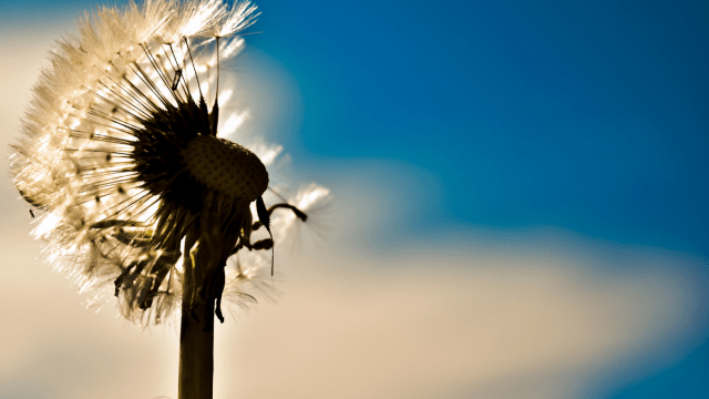 Qausi-Eating Disorder Recovery Dandelion Pic