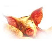 Eastern horoscope - pig