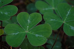 Shamrock_leaf