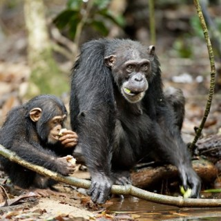 Disneynature Presents Chimpanzee {My Special Announcement!} #DisneyGlobalEvent