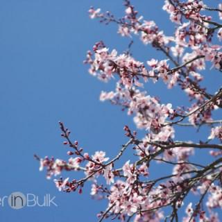 spring break change of plans - blossoms