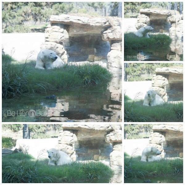 polar bear san diego zoo