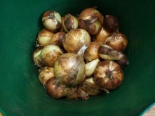 About 20% of this year's Candy onions